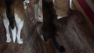 Three cats stand around large brown dog and sniff him  - Video