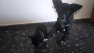 Dog helps out younger brother with cute trick - Video
