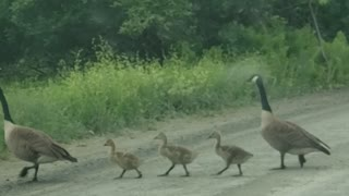 Family of Geese Brighten Morning Commute