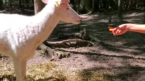 Hand-feeding a majestic albino whitetail deer