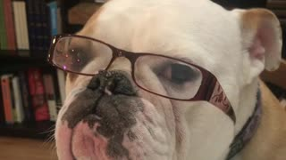 Patient Bulldog Models Prescription Glasses In Hopes For A Treat