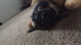 Brown dog laying upside down showing teeth  - Video