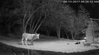 Skunk Chases Coyote Out of Backyard - Video
