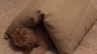 Tan dog walks in a circle with brown pillow on top of him  - Video