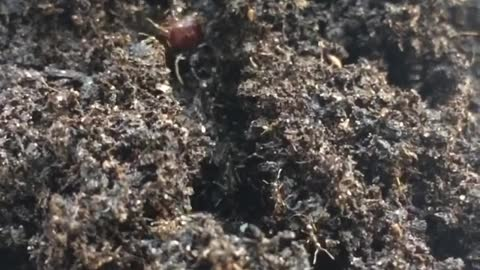 Queen Of ants coming in and out the soil