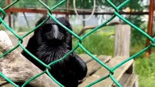 A talking Raven is incredible