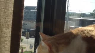 Orange cat stares at bird outside of window  - Video