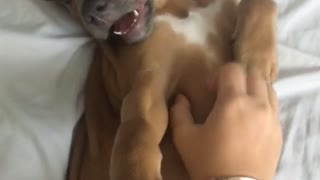 Music brown puppy on white bed has tummy scratched while logic plays