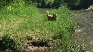 Collab copyright protection - brown husky river face plant grass - Video