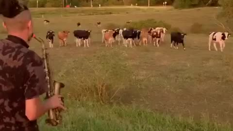 Field Of Cows Rush Over To Listen To Saxophone Solo