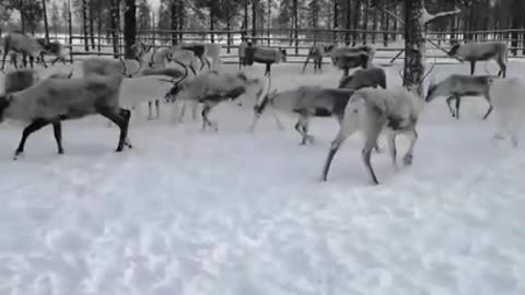 Man Saves Domestic Reindeer From Mud Hole