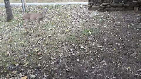 Whitetail Deer: Training Molly