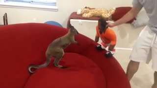 Crazy kangaroo attacked the puppet