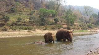 Elephant family splashes around in river - Video