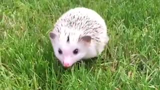 White hedgehog walking towards camera  - Video