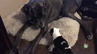Massive Great Dane plays with tiny puppy