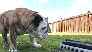 Bulldog vs Sprinkler (slo-mo)  - Video