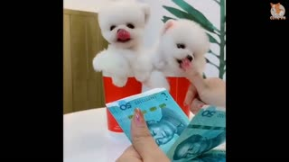 So funny cute puppy Video - Very puppy 😂 😂