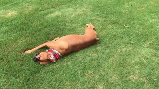Boxer Dog Goes Crazy In The Grass