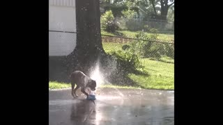 Boxer plays with sprinkler