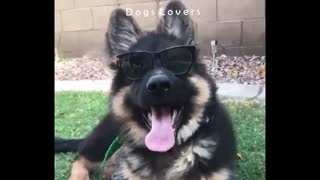 A Dog Wears Sunglasses. - Video