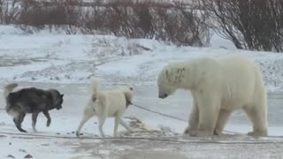 Bear and Dog Play Together - Video