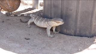 Lizard enjoying a neck rub  - Video