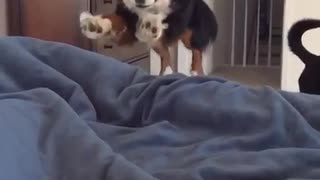Slow motion of black white brown dog jumping onto black bed - Video