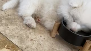 Adorable puppy literally falls asleep in water bowl
