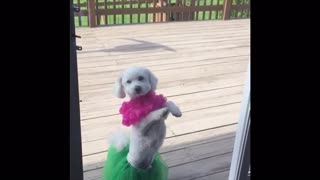 Hula Poodle Shakes It - Video