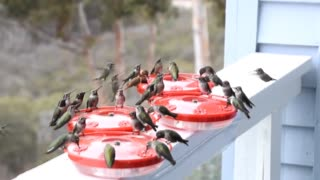 Dinner Time for Swarms of Hummingbirds