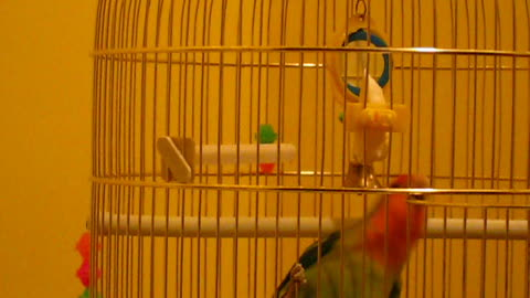My Agapornis parrot is playing with her toys