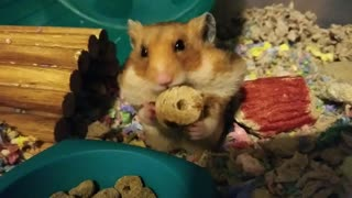 Hamster! It's dinner time!  - Video