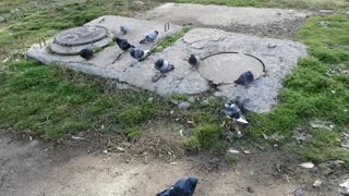 A flock of these pigeons are friends with each other.