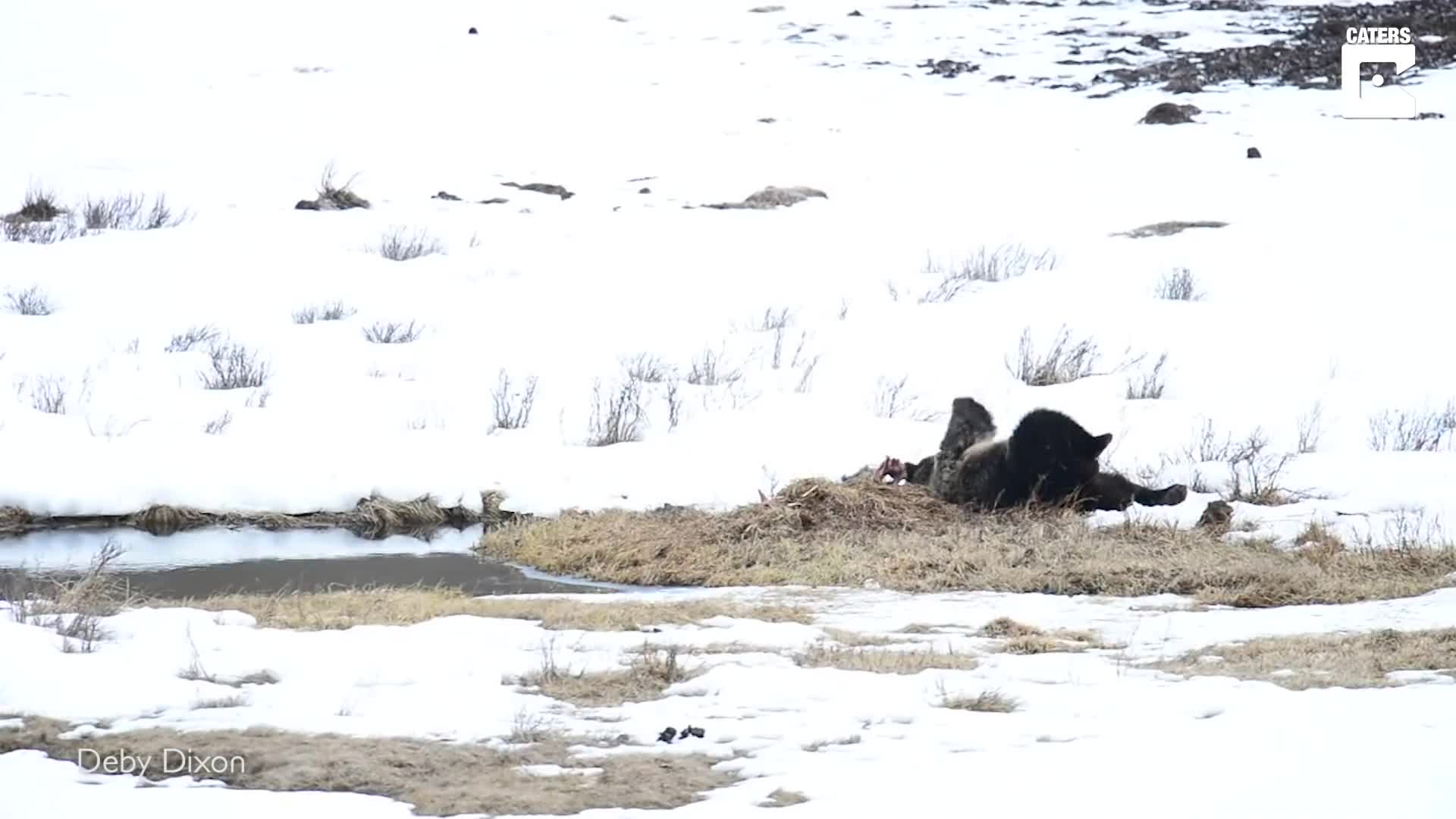 BEAR WITH ME: MALE GRIZZLY BEAR STRUGGLES WITH HIS YOGA POSES IN HILARIOUS WILDLIFE VIDEO