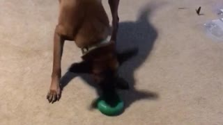 Dog excited green donut toy - Video