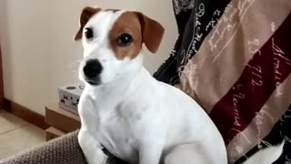 Jack Russell in the sofa