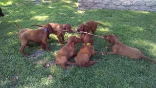 Irish Setter puppies play tug-of-war