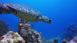 Diver takes selfie with endangered sea turtle - Video