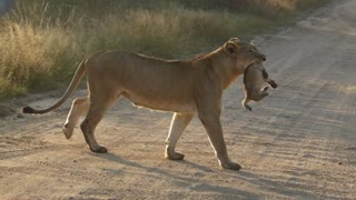 Lioness safely carries cub across road - Video