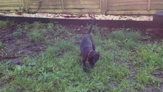Cute Puppy Playing With Ball - Video