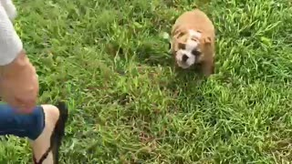 Bulldog Puppy's first time outside! - Video