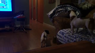 German Shepherd teases Jack Russells - Video
