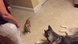 Chihuahua and Husky howling  - Video