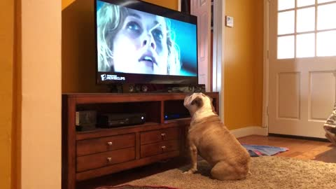 Bulldog Watches TV Intently To Ensure Actress' Safety