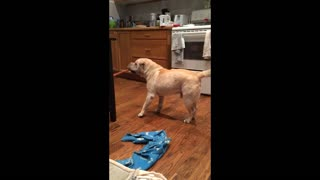Blind Shar Pei dog attempts to bring treat to his bed - Video