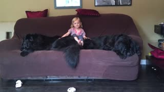 Massive dogs leave no room on couch for little girl - Video