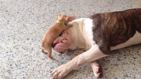 Tiny Chihuahua Puppy Teases Sleepy American Bulldog