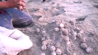 Precious turtle eggs stolen from Mexican beach - Video
