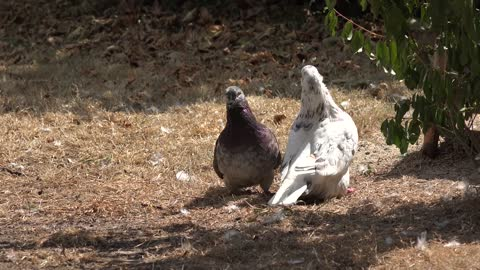 Reproduction Doves